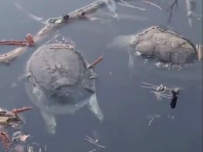 На уникальном озере под Воронежем массово гибнут черепахи