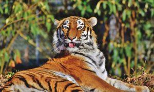 Тигр-призрак, неделю бродивший по городу в США,