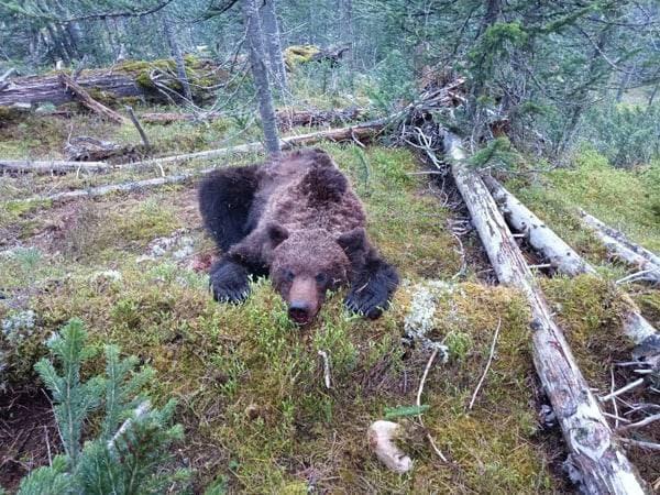 Медведь выследил и загрыз подростка в парке Красноярского края