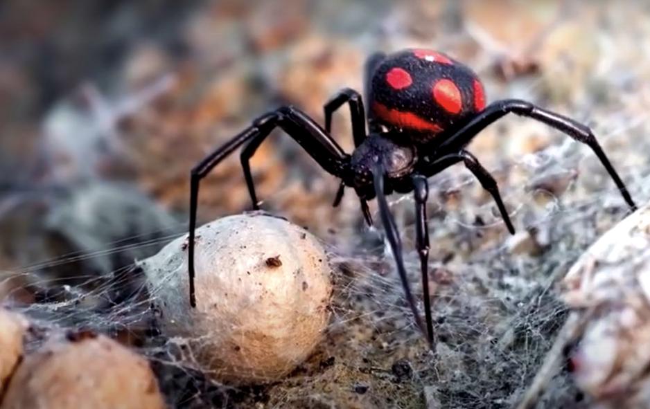 Ядовитые пауки-каракурты отправили в больницу 10 человек в Волгоградской области