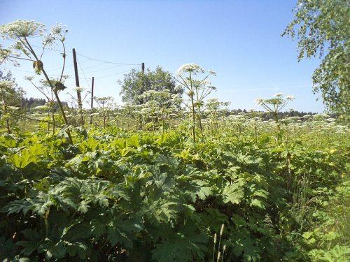 Ученые придумали, как превратить одно из самых опасных растений России в лекарство от неприятной болезни