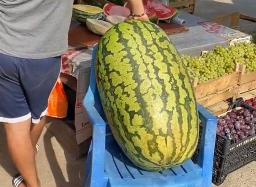 Арбуз весом 70 килограммов сняли на видео под Анапой