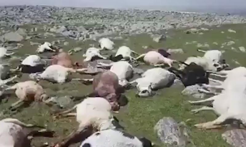 В Грузии ударом молнии убило полтысячи овец
