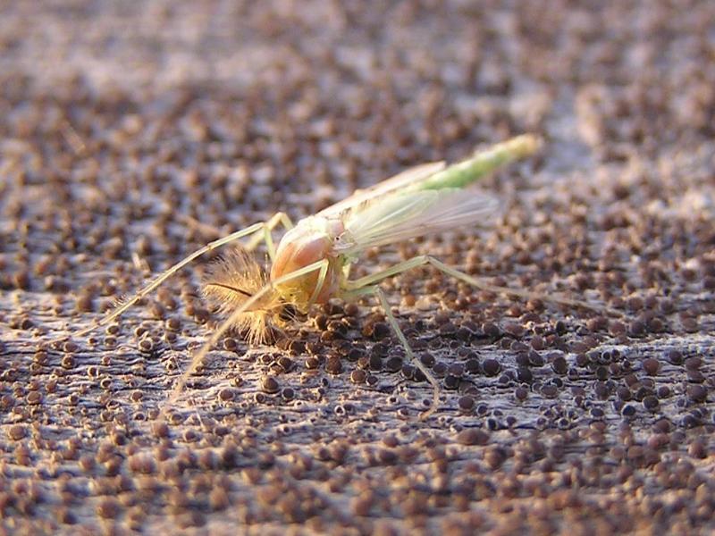 Шевелящиеся кучи комаров сняли на видео жители Ростовской области