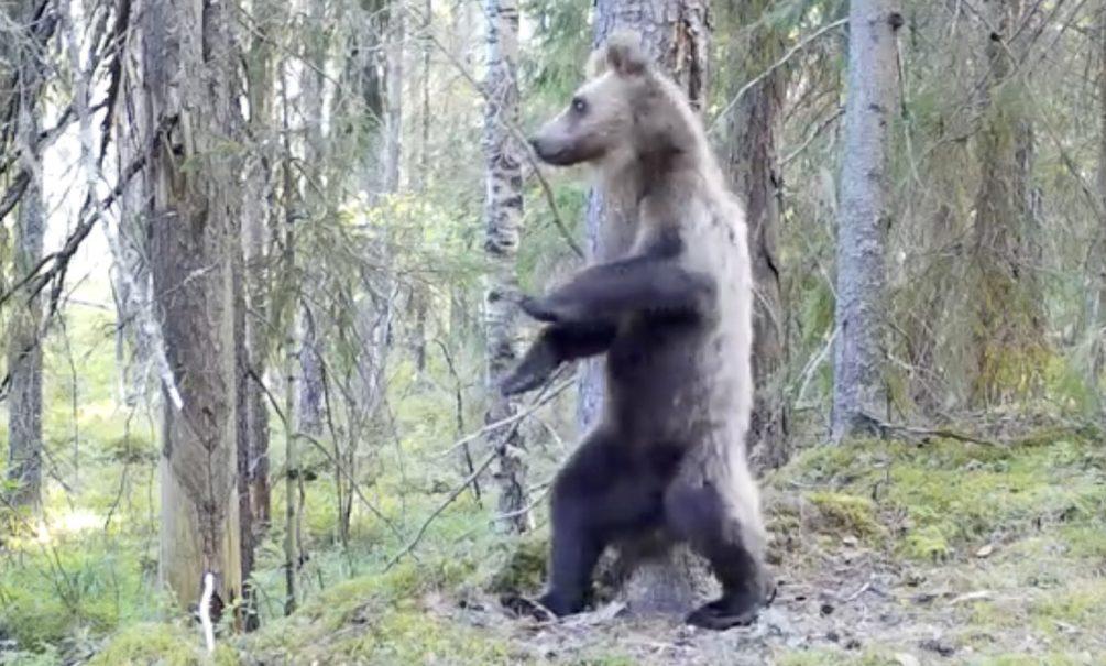"""Видео дня: медведь станцевал """"Ламбаду"""" в Нижне-Свирском заповеднике"""