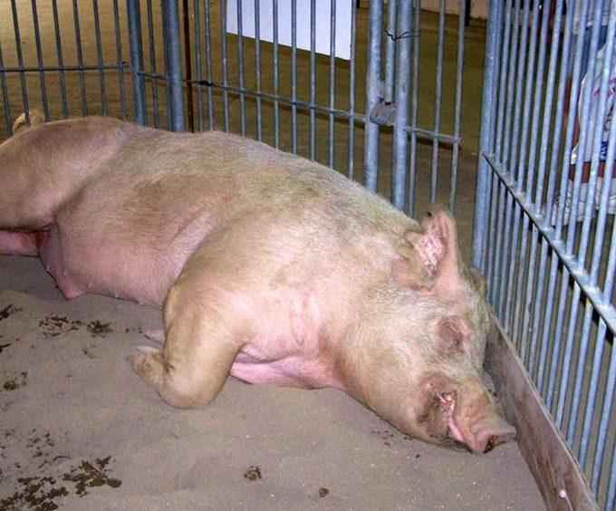 Вспышка африканской чумы свиней произошла на предприятии
