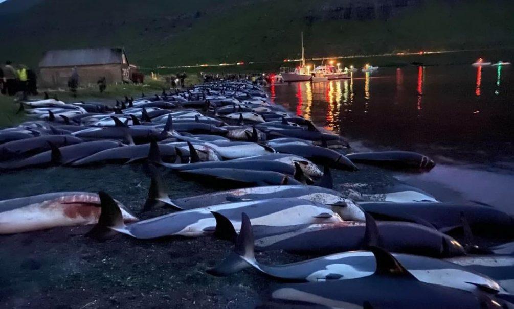 На Фарерах убили около 1500 дельфинов во время традиционной охоты