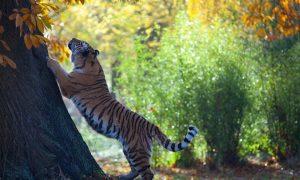 В Приморье грибники 40 минут спасались от тигра на дереве
