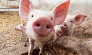 Впервые в истории хирурги   успешно пересадили человеку почку свиньи